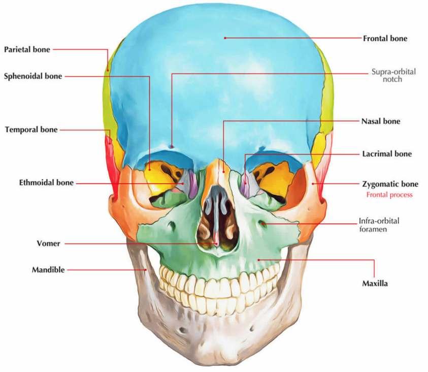 Zygoma anatomy, zygoma fracture & zygoma surgery