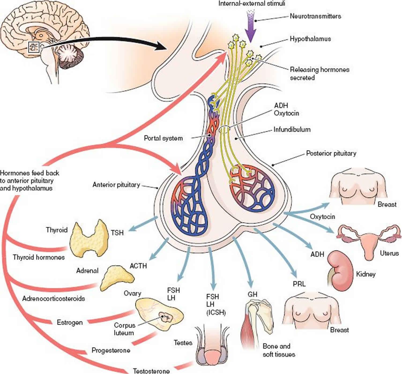 Panhypopituitarism Causes Symptoms Diagnosis Amp Treatment