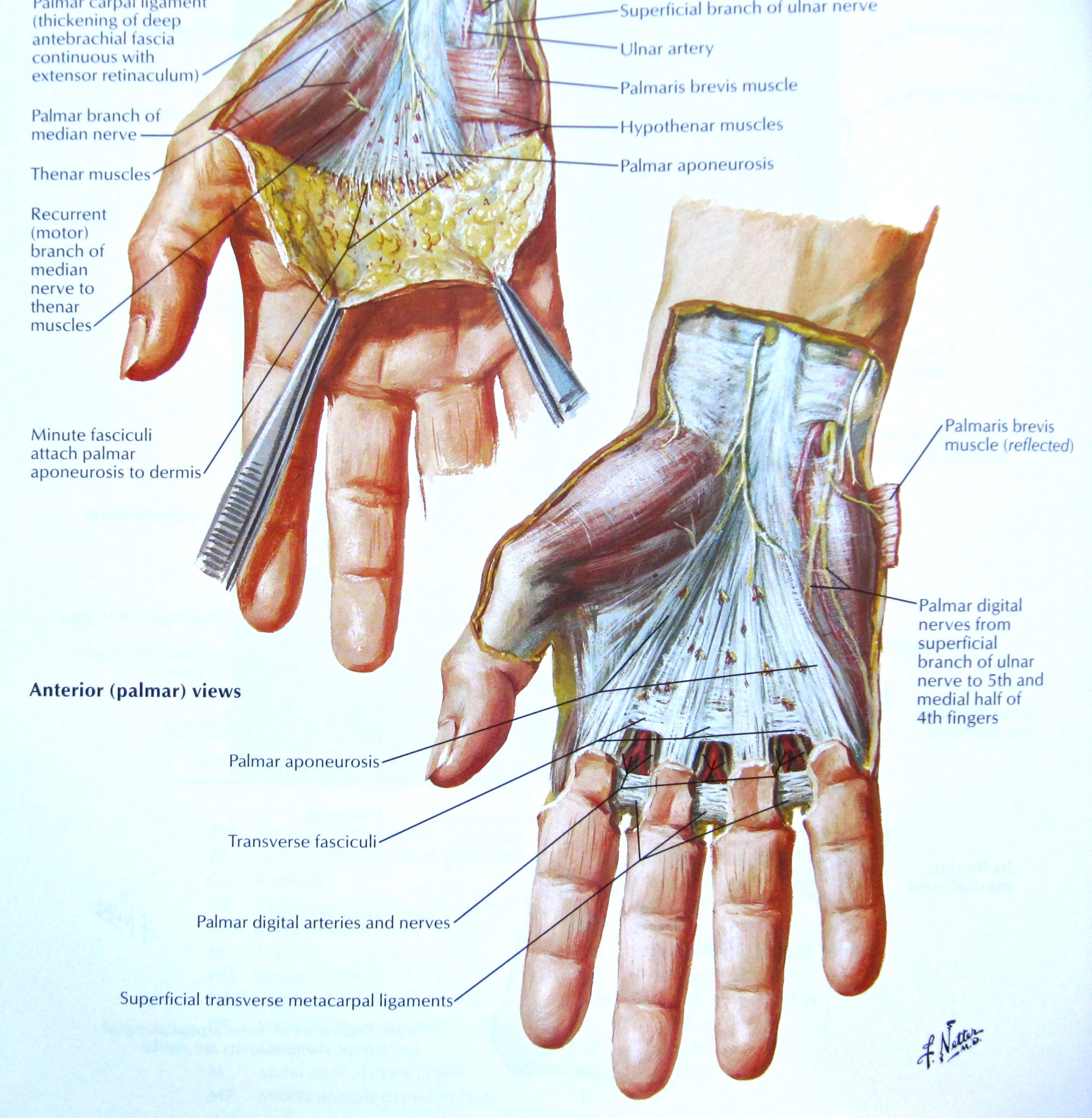 Netters Anatomy Atlas Finger