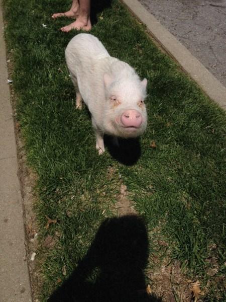 pet pig!