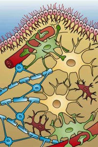 Glial cells in the central nervous system. Microglial cell activation could be contributing to the pain and fatigue in fibromyalgia and to the neuroinflammation found in other neurological disorders.