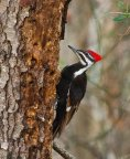 pileated-woodpecker-938685__340