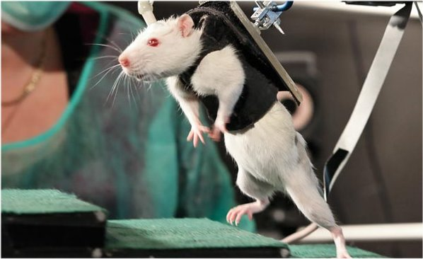Technology Helps Paralyzed Rats Walk