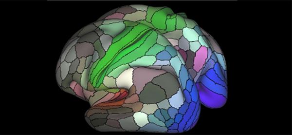 Known Human Cortex Regions Doubled