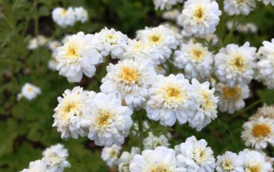 Using Feverfew to Stop Pain