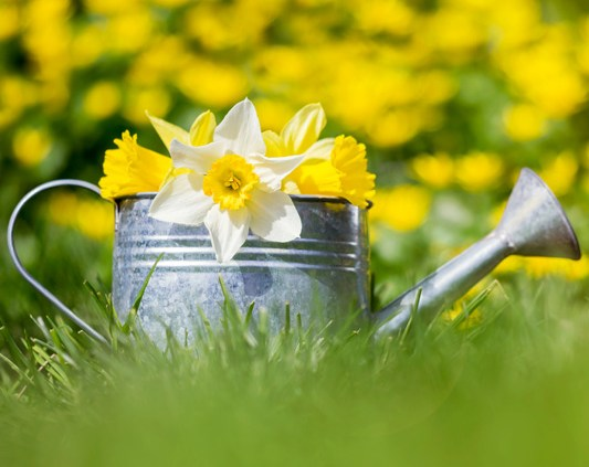 Watering can and daffodils