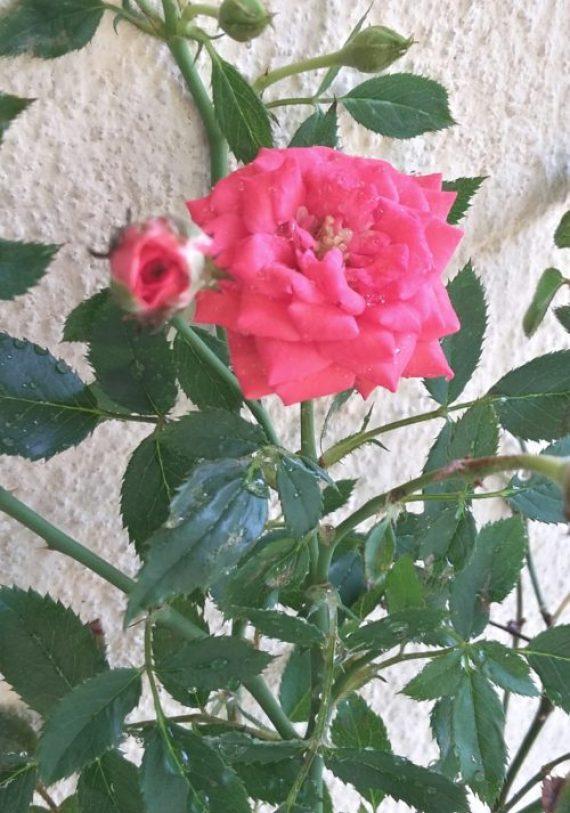 Garden image:Rose