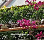 Alamunda for your balcony garden with ThursdayTree love 19