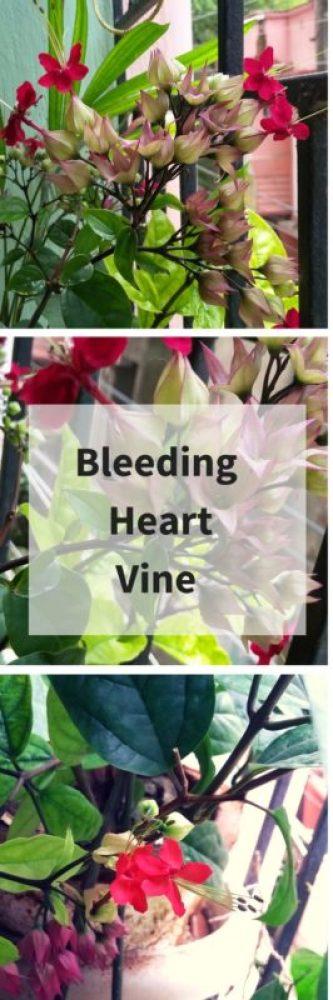 Thursday Tree Love :Bleeding Heart