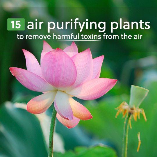 airpurifierplants