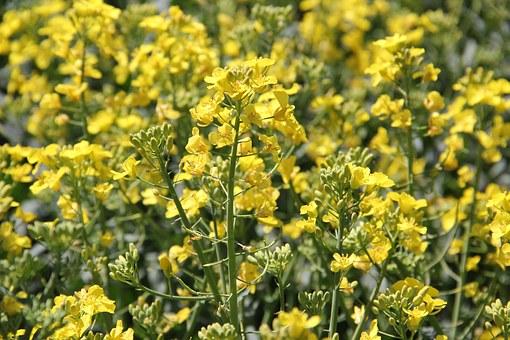 field-of-rapeseeds-1380227__340