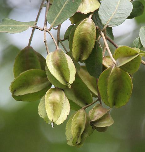 Arjuna Herb