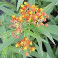 Blood Flower Herb