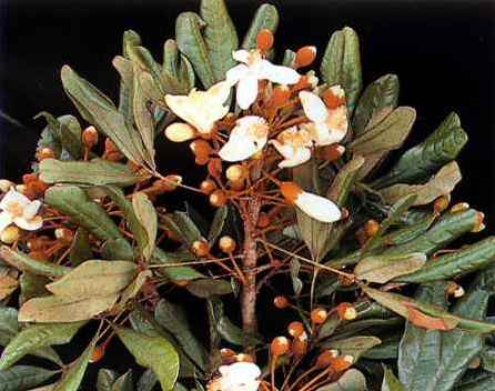 Catuaba Herb