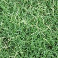 Couch Grass Herb