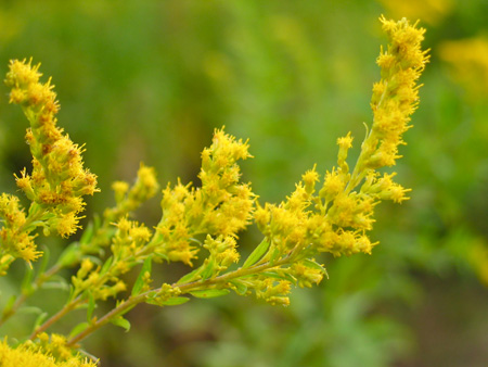 Goldenrod Herb
