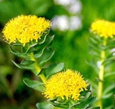 Rhodiola Herb