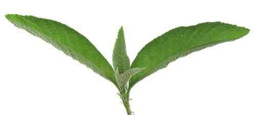 Sambong Herb