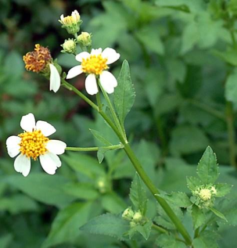 Spanish Needle Herb