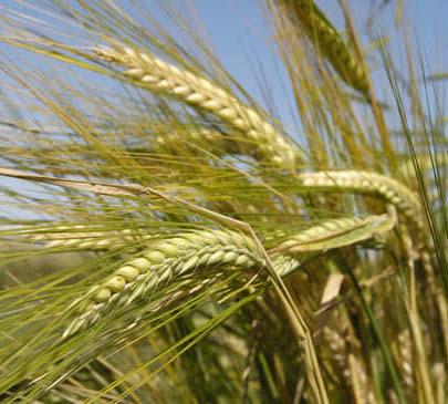 Barley Herb