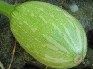 Calabaza Squash