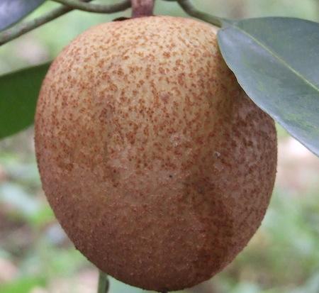Chico Fruit