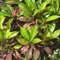 Croton Herb