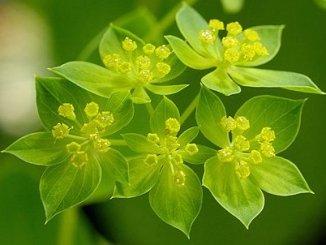 Buplerum Herb