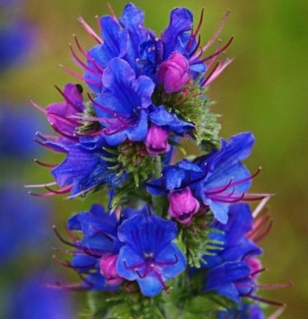 Viper herb