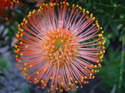 Protea-flower2