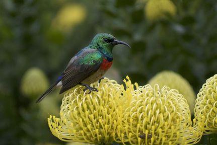 Protea-flower3