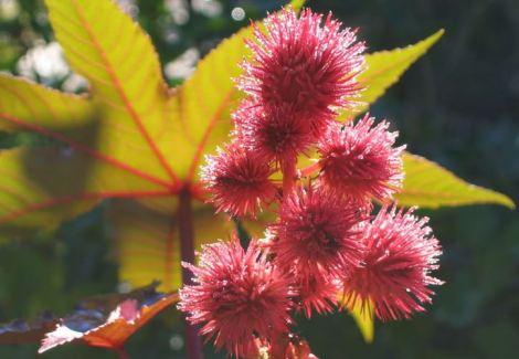 Castorbean-flower2