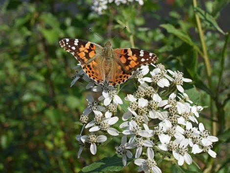 american-lady-butterfly-2783227__480