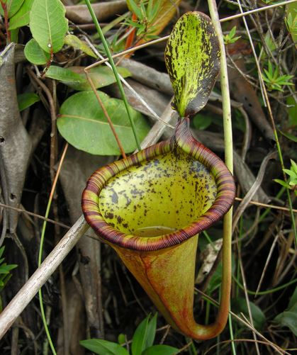Attenborough's Pitcher Plant