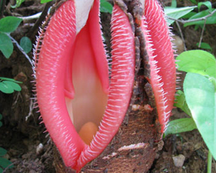 Hydnora-Africana-1