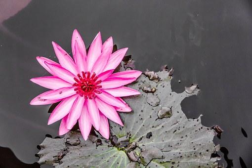 lotus-1095265__340