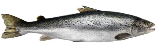 pacific-wild-salmon-858981__340