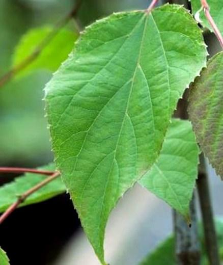 Poliothyrsis-sinensis