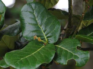 Quercus-Semecarpifolia