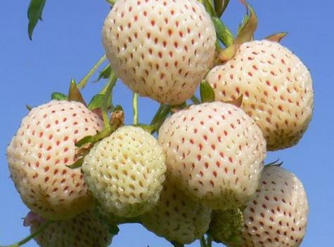 Strawberry-Snow-White-Plants