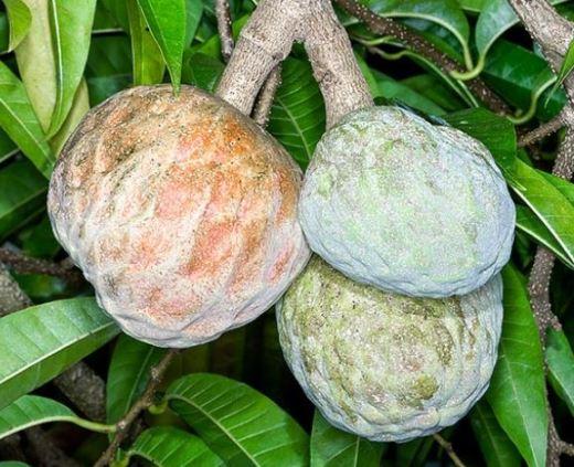 annona-reticulata
