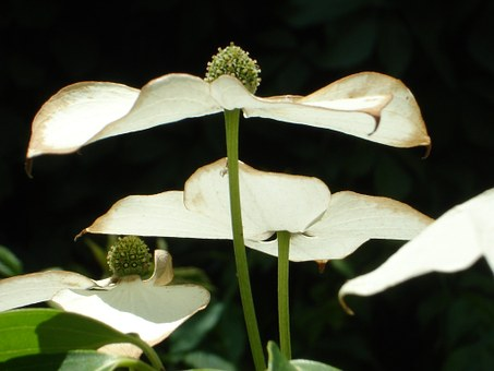 asian-dogwood-blossoms-4127__340