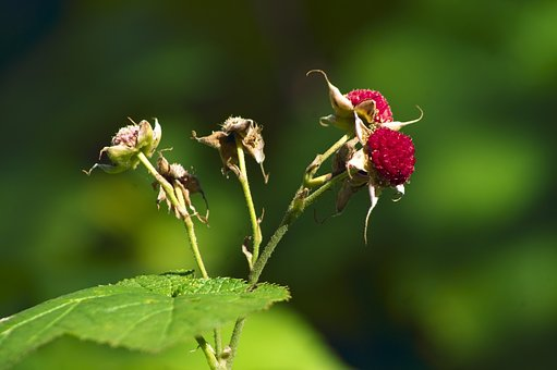thimbleberries-in-cascade-canyon-4079538__340
