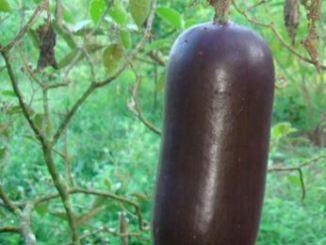 Musk,Cucumber,Cassabanana