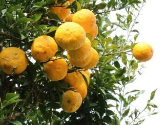 citron-1241690_960_720