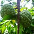 sugarapple-651759_960_720