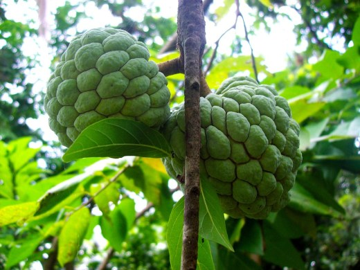 sugarapple-651759_960_720