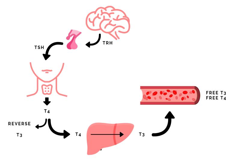 HPT-as schildklier hypofyse hypothalamus lever hashimoto ziekte van graves schildklierklachten schildklierproblemen
