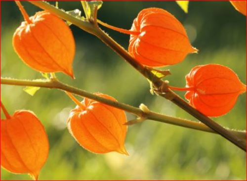 Health Benefits of Ashwagandha and Sex