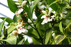 Vasa (Justicia Adhatoda)-Useful in Respiratory Diseases